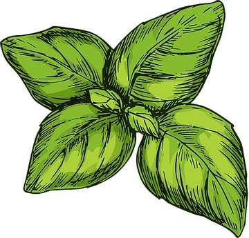 Top 4 Uses for Sweet Basil